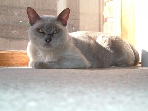 A Platinum or Lilac Burmese kitty