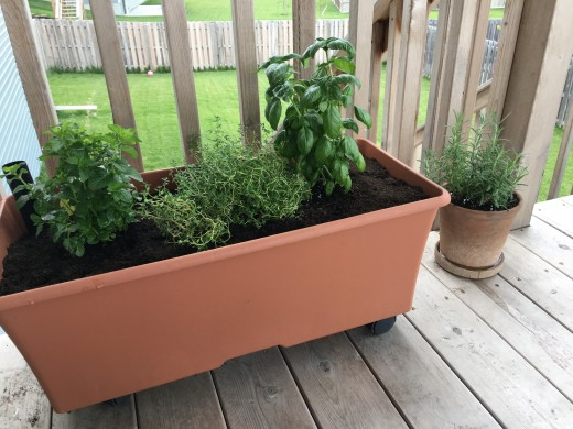 Newly planted herbs in an EarthBox