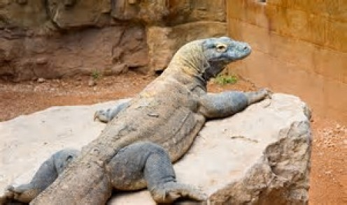 Some Komodo Dragons have weighed around 150 pounds and have grown to a length of 10 feet long!