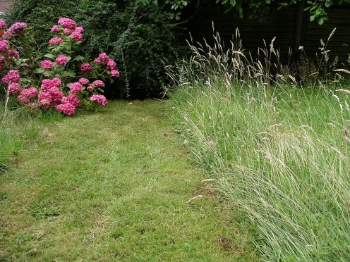 An English lawn in July. The area on the left was mowed twice between May and July. The area on the right had not been mowed at all that year.