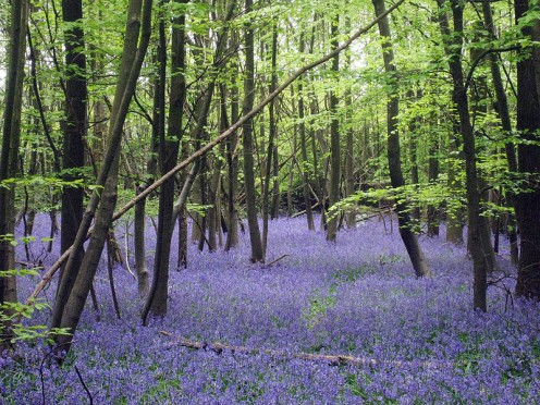 Forest Floor of Bountiful Bluebells