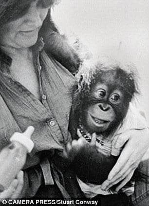 Chantek, the ape who went to college, and his surrogate mother