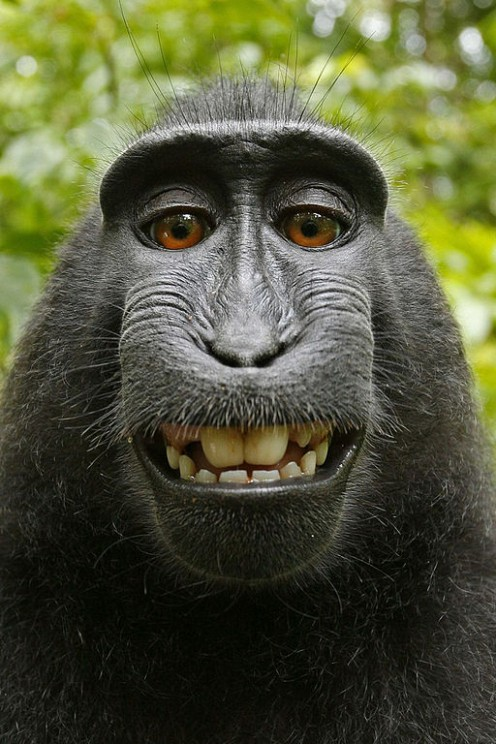 Self-portrait of a Celebes crested macaque (Macaca nigra) in North Sulawesi, Indonesia.