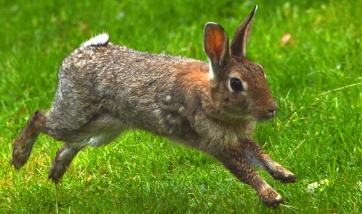 Creeping thyme will keep garden-eaters like this rabbit away.