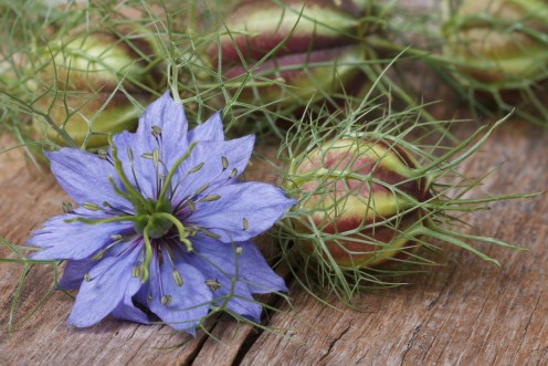 The seed pods of Love-in-a-Mist flowers are often used in flower arranging.