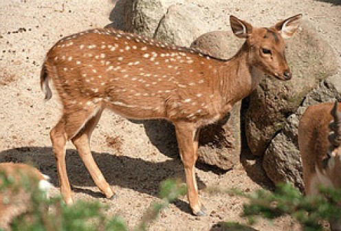 Spotted Deer of India