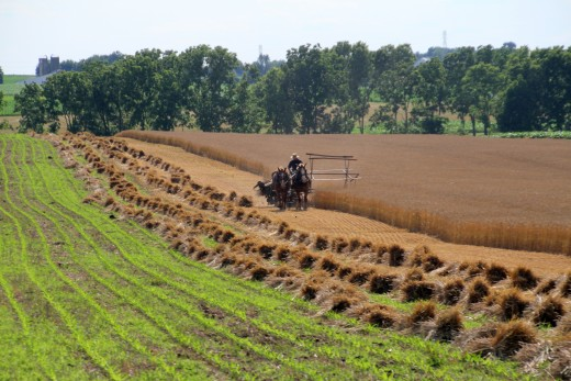 An Amish farmer uses horse power to harvest wheat in Lancaster County, Pennsylvania