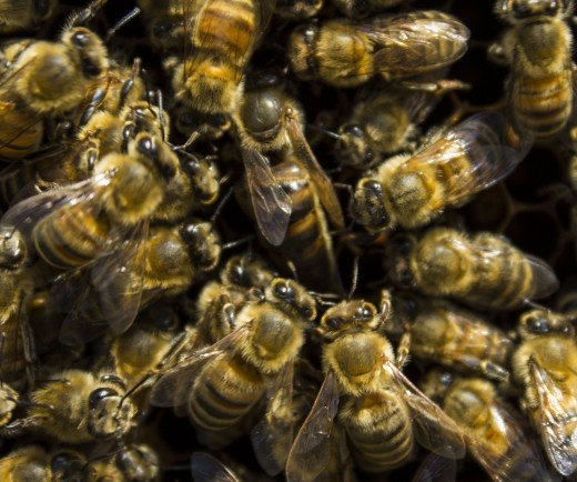 The queen is surrounded by her entourage of worker bees.
