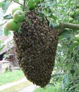 Swarm of bees on a tree limb.