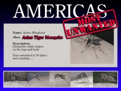 The Asian Tiger Mosquito - America's Most Unwanted
