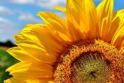 GOLDEN SUNSEEDS-Poem