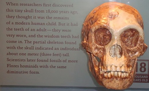 "The skull of Homo floresiensis in a display case, the so-called ""Hobbit"" due to its small size."