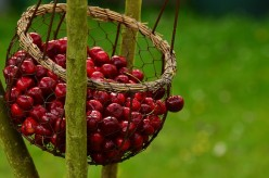 Treat Gout with Cherries