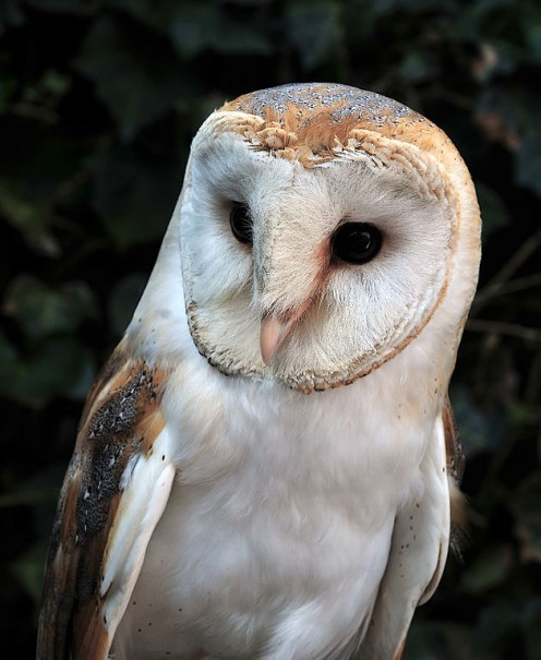 Barn Owl in the Luneburg Heath Wildlife Park near Nindorf, Hanstedt, Germany.