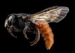 Redtail bee, invades other bee nests, kills larvae, eats eggs, lays own eggs, and then seals them back up and flies off.