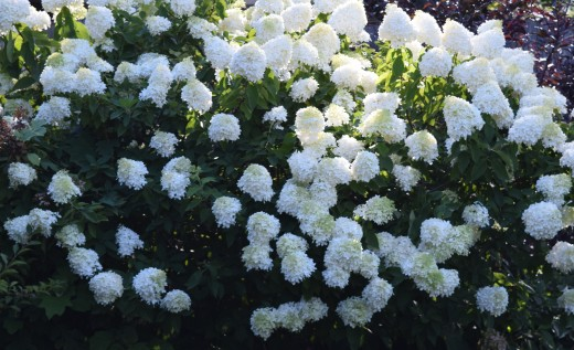 Limelight Hydrangea is a giant flower bouquet in summer.