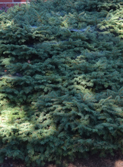An evergreen, while its color may fade in winter, stays green all year. It's also a good place for spiders to make webs and catch some insects.