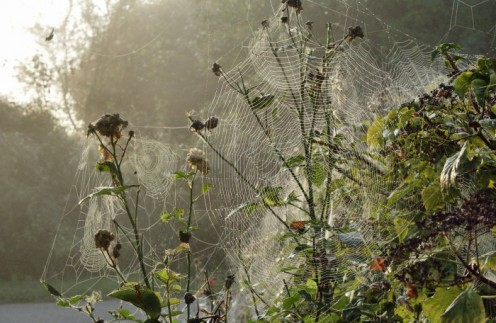 Early morning spider's webs