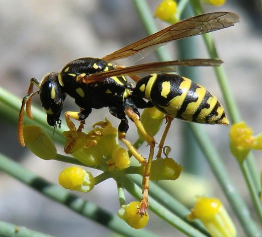 A wasp on flower