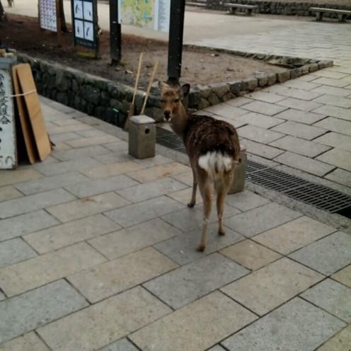 A deer roams in Nara Park.