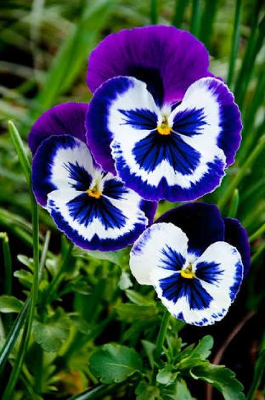 Flowers of February--Pansies
