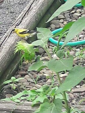 goldfinch on sunflower eating the seeds from the middle.