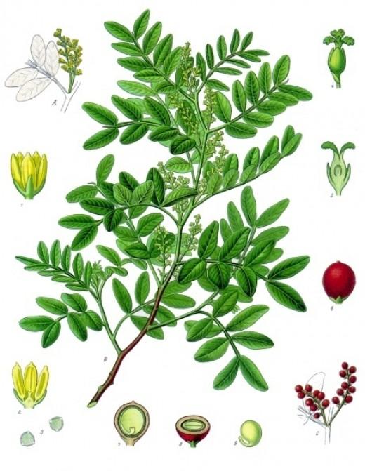 Mastic, Pistacia lentiscus.