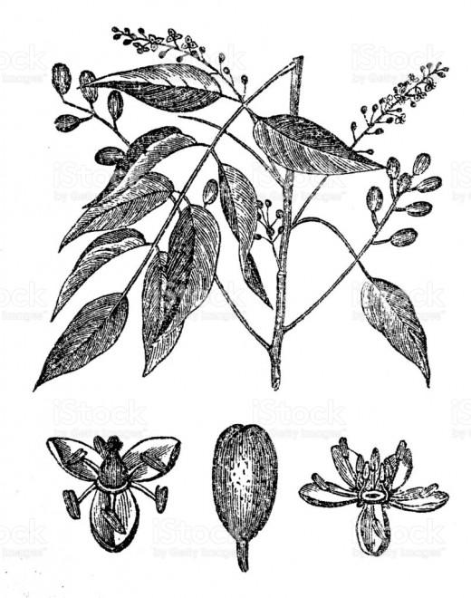 Bursera simaruba, commonly known as gumbo-limbo or turpentine tree.