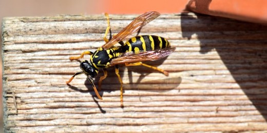 Paper wasp, note the characteristic thin wasp waist