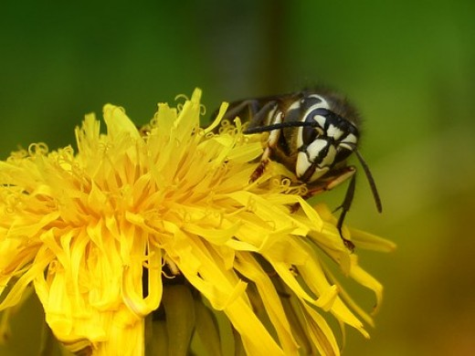 Bald faced hornet, note the characteristic white face