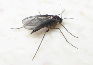 Pictures of small flying bugs in house