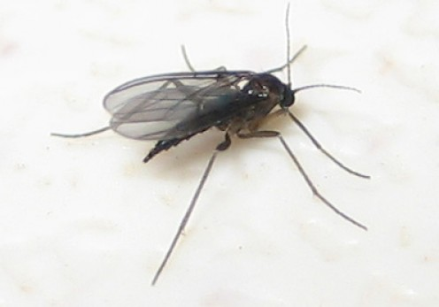 Fungus Gnats: Where Do These Little Flying Bugs Come From?