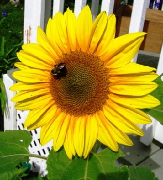 Bee & Sunflower Bob Ewing photo