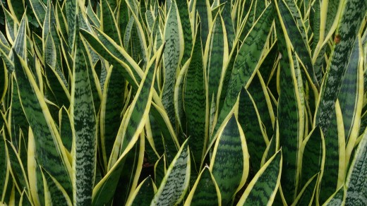Snake plants are easy to take care of.