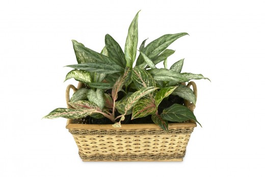 Dieffenbachia and aglaonema go well together, though the latter can be a bit pickier.