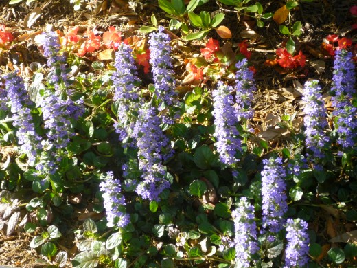Ajuga plants in bloom