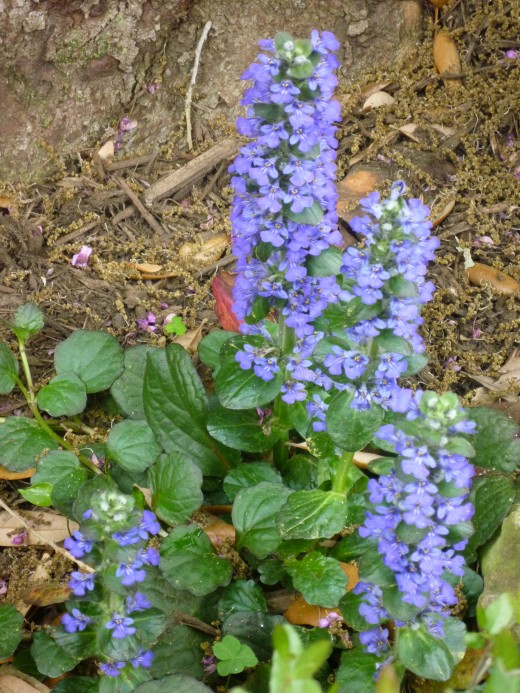 You can see some of the runners of this ajuga plant in this photo.