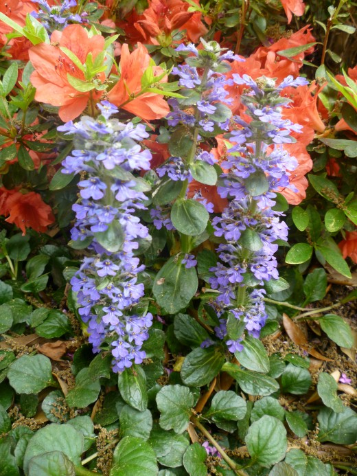 Some ajuga bordering our azalea plants