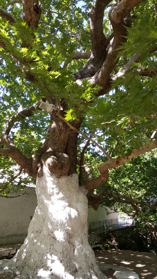 Danakos Plane Tree