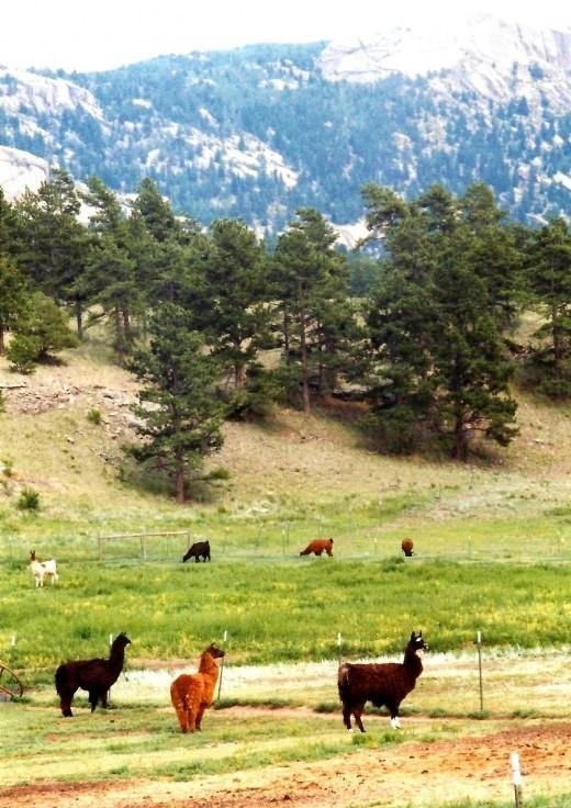 Between Colorado Springs and Cripple Creek is a llama farm.