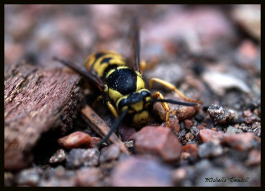 A yellow hornet is  often mistaken for Honey Bee
