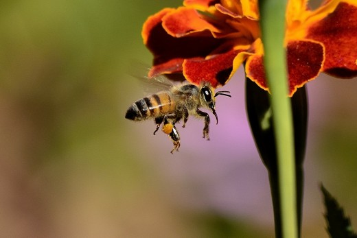 Honey Bee is an excellent  pollinater