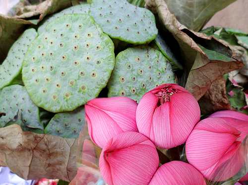 Lotus buds and seed pods.