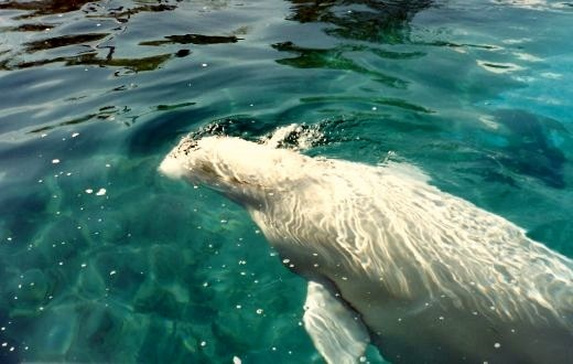Beluga whale playing with ice