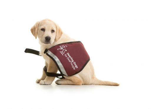 Hearing aid dogs can help their owners stay safe in busy, high traffic areas.
