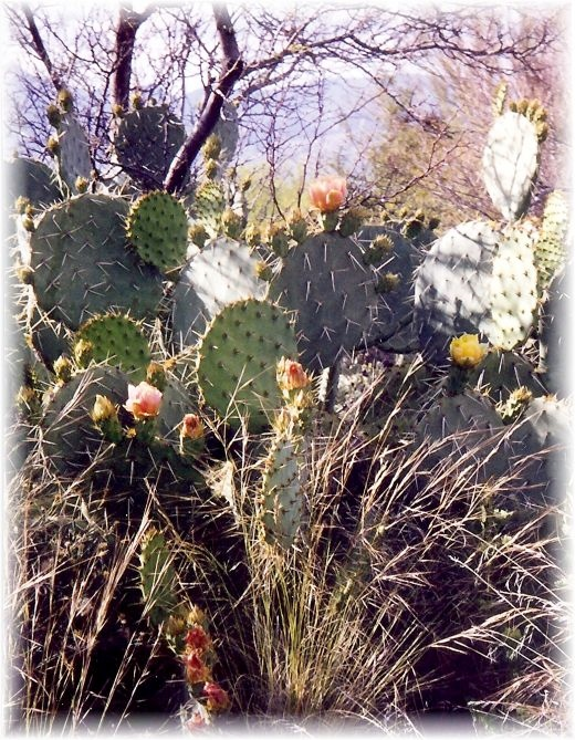 Many other types of cactus and plants in the Saguaro National Park