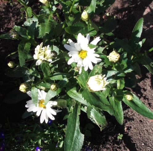 Marguerites: slender, bobbing daisies