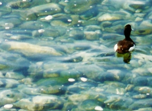 Duck in Montreux, Switzerland waters