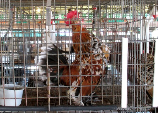 Rooster crowing at the 4-H fair
