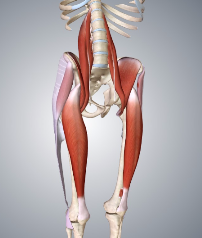 The psoas, tensor fasciae latae, and rectus femoris are the major hip flexors.